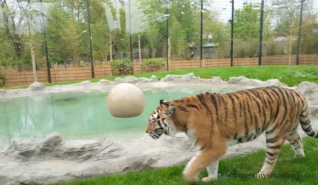 Amur Tiger Chessington