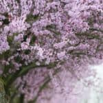 How to Choose a Flowering Tree to Enhance Your Garden